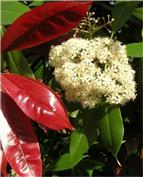Le Photinia compose de belles haies